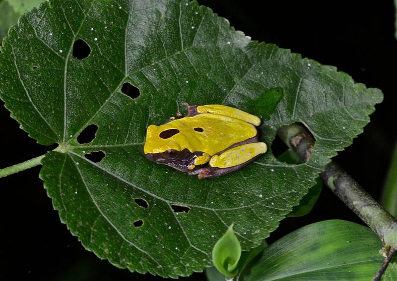 Clown treefrog (Hyla leucophyllata)