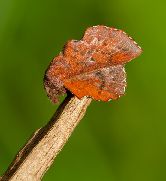 Phyllodesma americana American Lappet Moth 7687 Family Lasiocampidae Skogstjarna Carlton County MN  IMG_0739.jpg