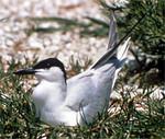Gull-Billed Tern, Lachstern, Sterna nilotica