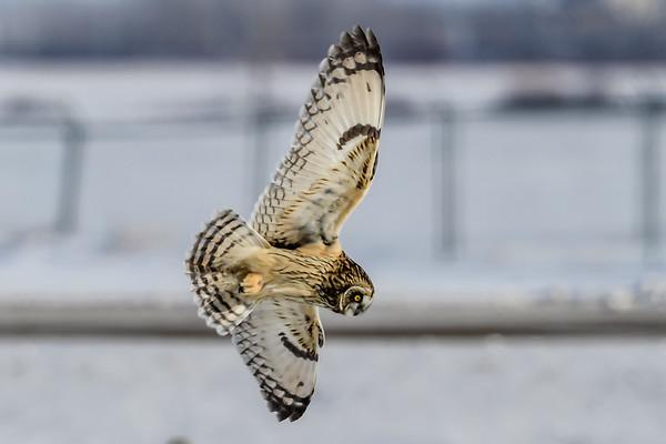 2-25-19 Short-eared Owl - Hunting