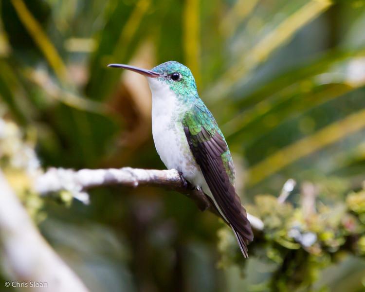 Andean Emerald at Alambi, Ecuador (03-03-2014) 024-180.jpg