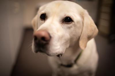 Gauge Senior Center Dog