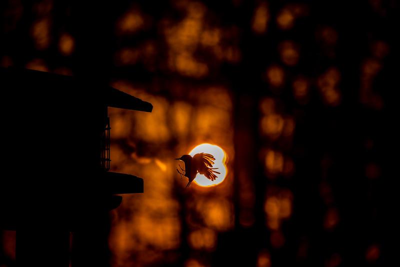 Black-capped Chickadee at feeder backlit backlighting Skogstjarna Carlton County MN  IMGC9210.jpg