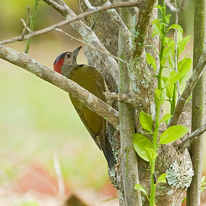 Goldenolive Woodpecker