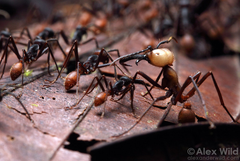 Eciton burchellii army ants.  Maquipucuna reserve, Pichincha, Ecuador