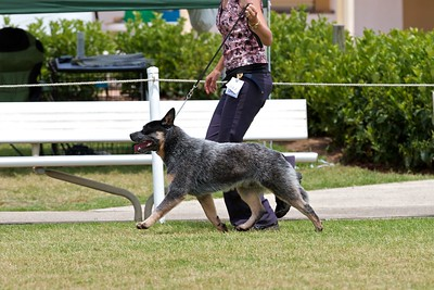 .Other Australian Cattle Dogs