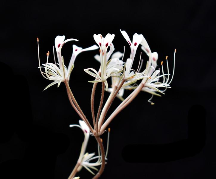 Pelargonium punctatum