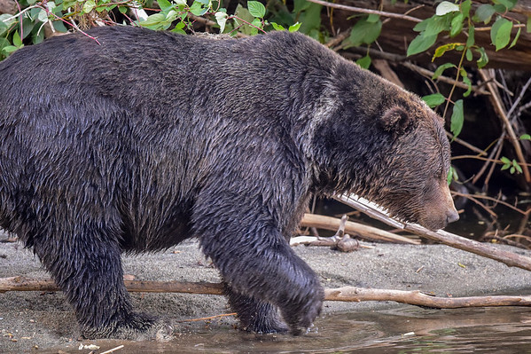 """9-13-15 Bella Coola - Dominant Male Grizzly """"Mac"""" Pt. 2"""
