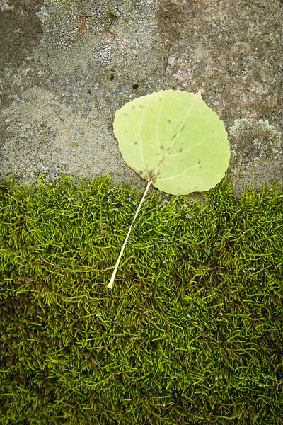 'Aspen Leaf and Moss' - Crested Butte, Colorado