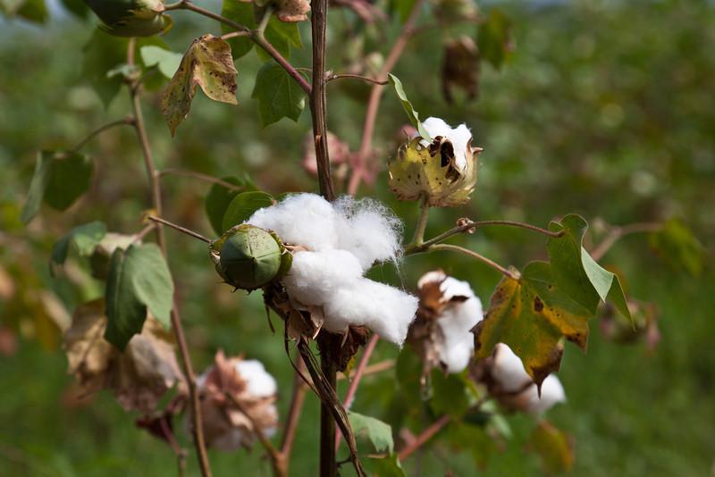 Cotton / Baumwolle