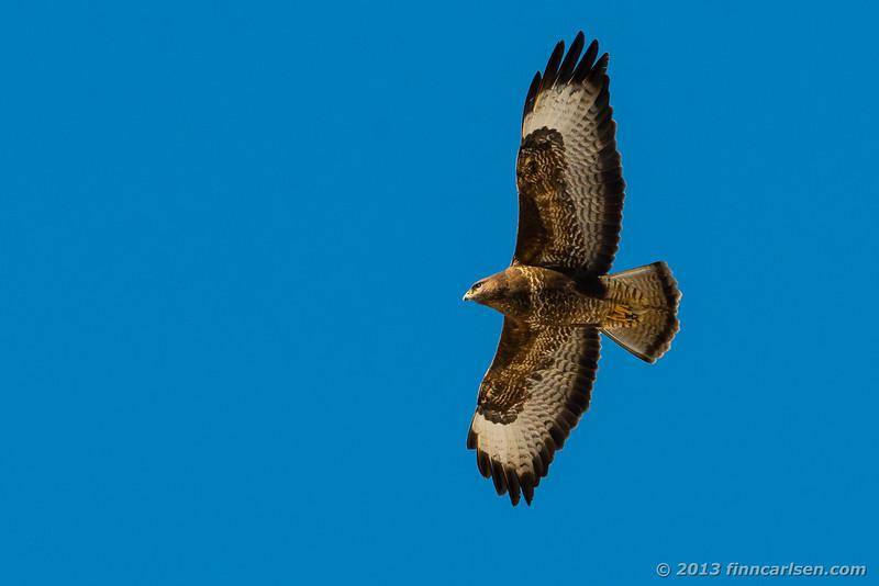 Musvåge (Common Buzzard - Buteo buteo)