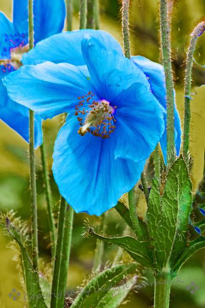 The Blue Poppy - Judith Sparhawk