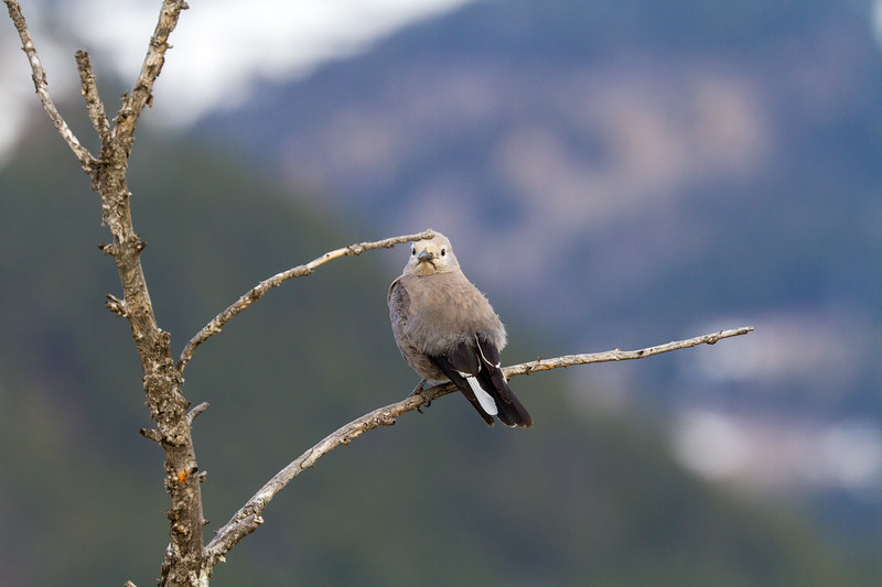 Clark's Nutcracker above Yellowstone Picnic Yellowstone National Park WY IMG_6527.jpg