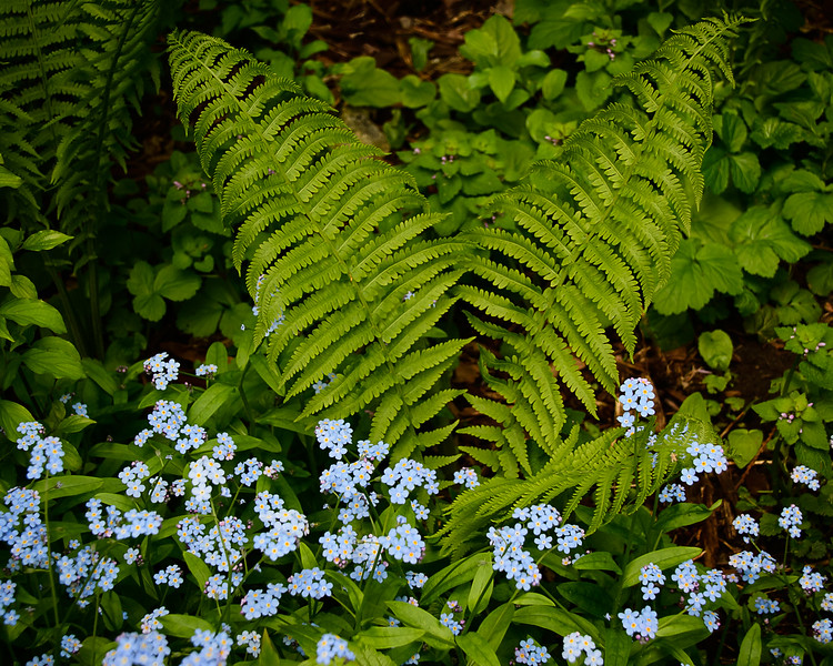 Forget-me-nots and ferns