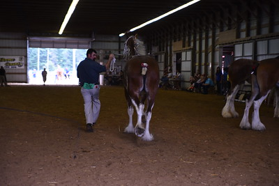 Clydesdale Mare 2-3