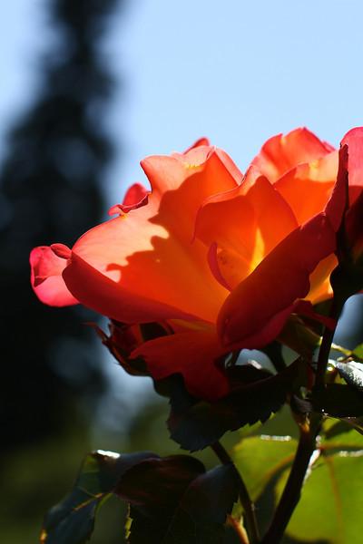 Portland International Rose Test Garden  2251.jpg