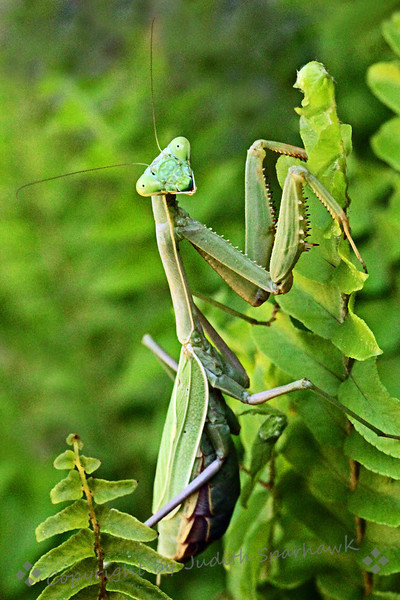 Smile, You're On Candid Camera! ~ This view of the Praying Mantis looked like he was smiling at me as I took his picture.