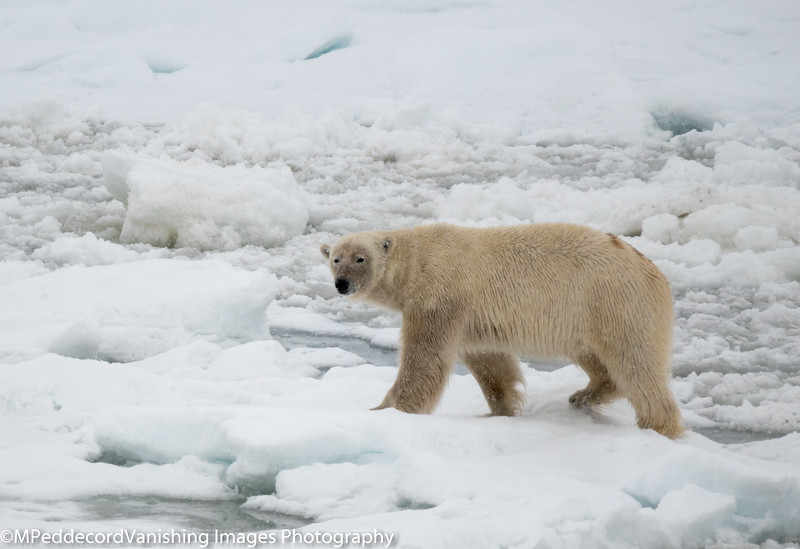 Ice Bear Barentsoya Arctic Svalbard