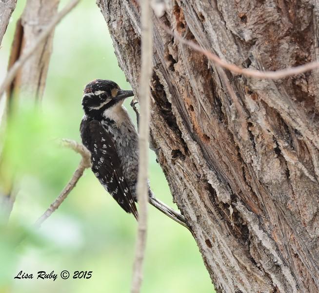 Juenile Nuttall's Woodpecker - 5/25/2015 - Santee Lakes