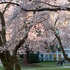 Cherry blossoms in the quad