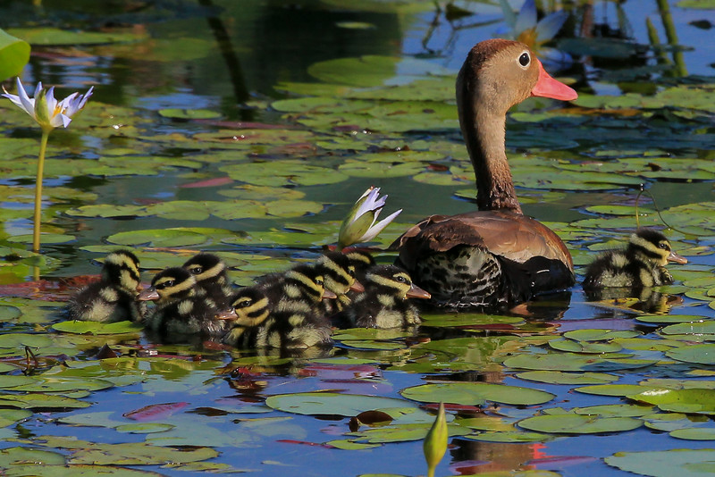 zAnahuac 8-14-14, NEW T3i, 118B, Whistling Duck and chicks 2nd save.jpg
