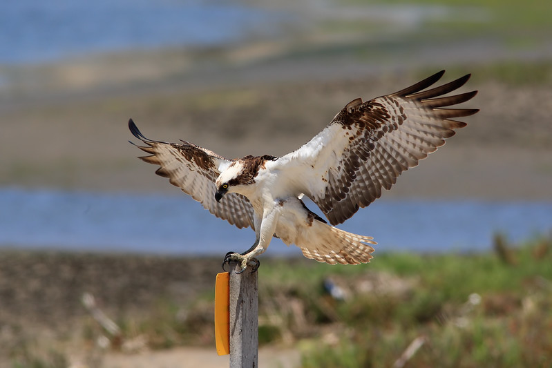 Osprey_Landing_2P8E2311.jpg