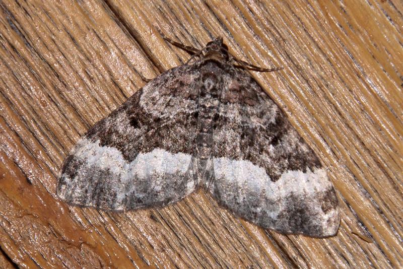 Carpet - Sharp-angled - (Euphyia intermediate) - Dunning Lake - Itasca County, MN