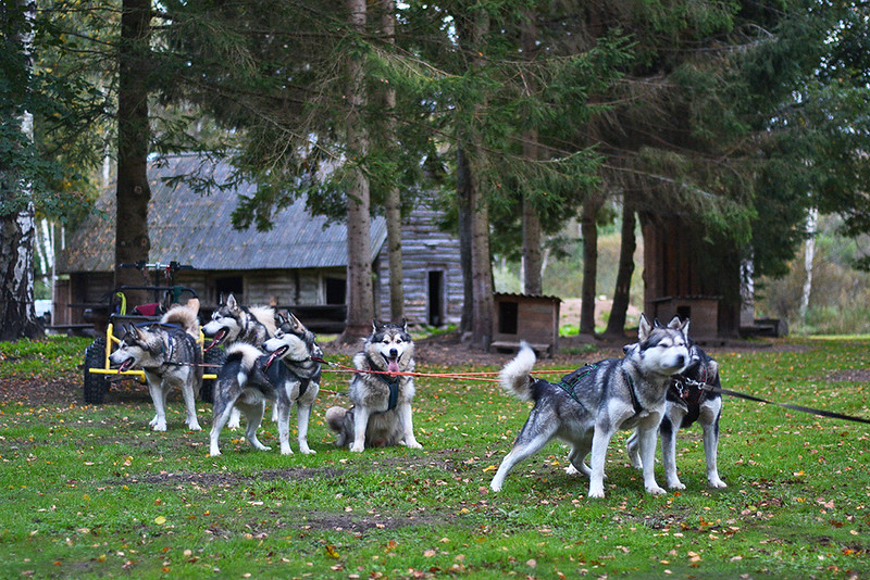 dog sledding in estonia