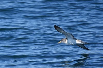 Albatrosses, Petrels, and Shearwaters