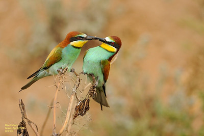 Bee Eaters apr 2012