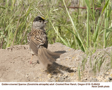 Golden-crowned Sparrow A68424.jpg