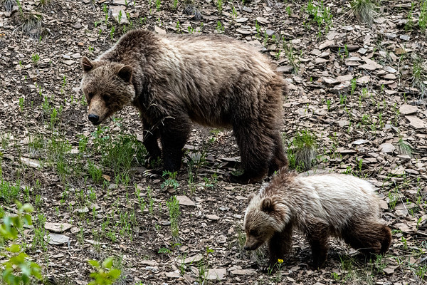6-21-2 Blondie Grizzly Bear & Cubs