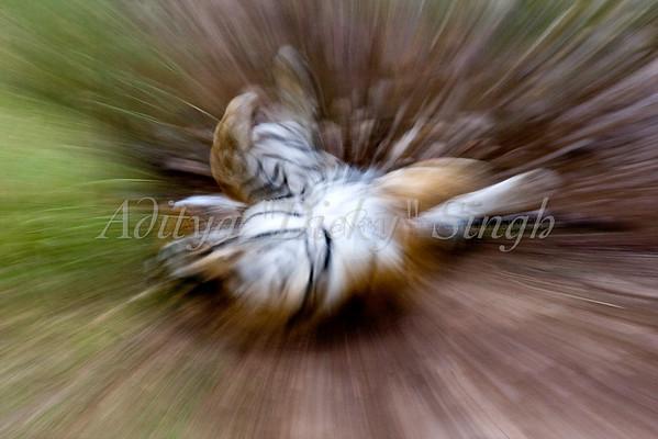 tiger form