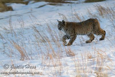 Bobcat 01-26-2016