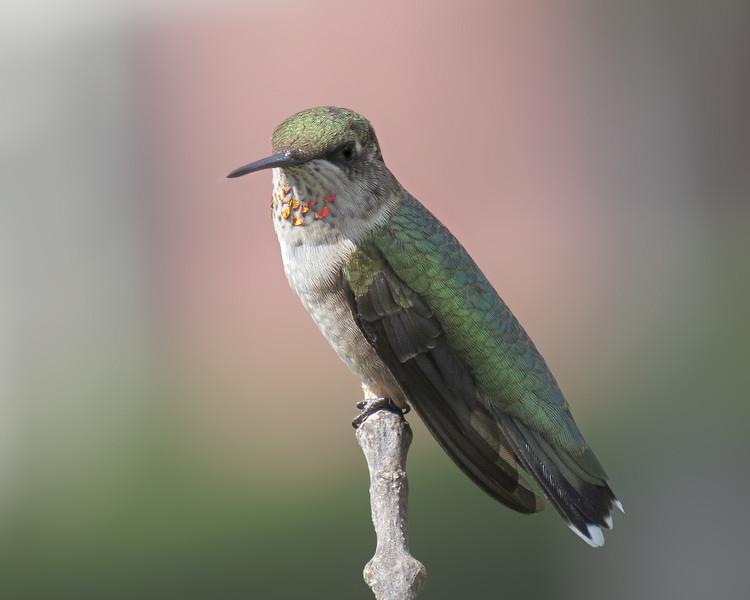 sx50_hummingbird_boas_293.jpg
