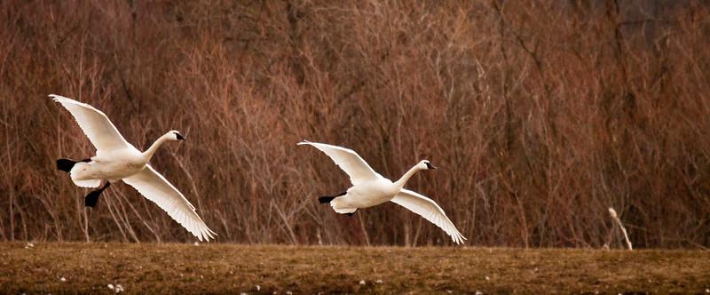 2011 swan migration aylmer (19 of 51).jpg