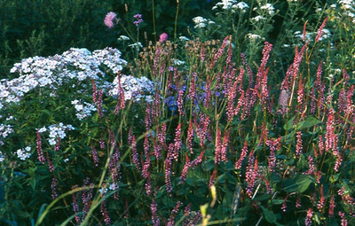 Persicaria amplexicaule 'Early Pink Lady'