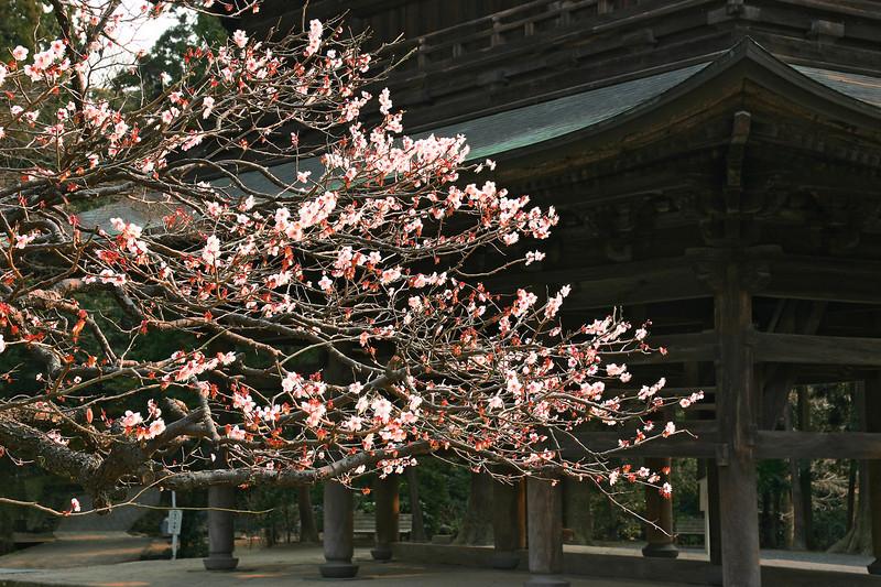 """Cherry Blossom in Kenchoji Temple. Kamakura. 24""""x15"""""""