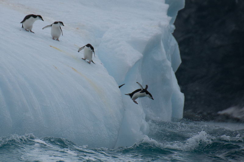 Chinstrap penguin diving into the water near Elephant Island