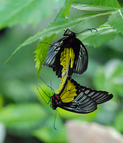 Mating butterflies.