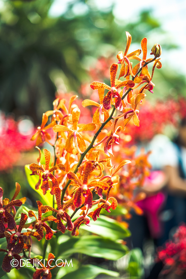 Gardens by the Bay - Orchid Extravaganza 2016 - burst of orange