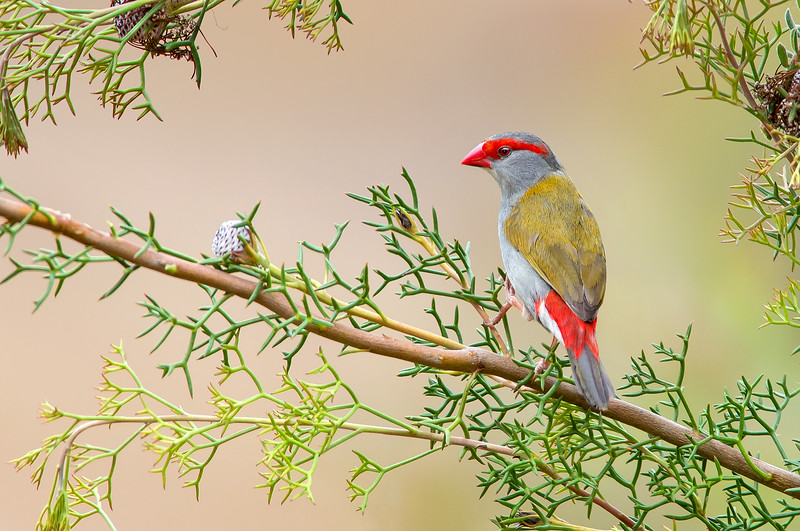 Red-browed Finch - Neochmia temporalis (Warby Ranges, Victoria)