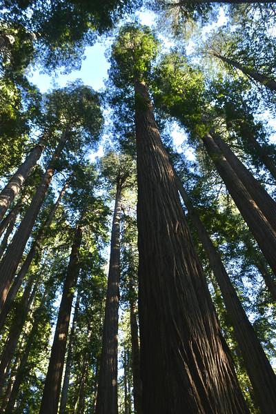 Redwoods of the North Coast