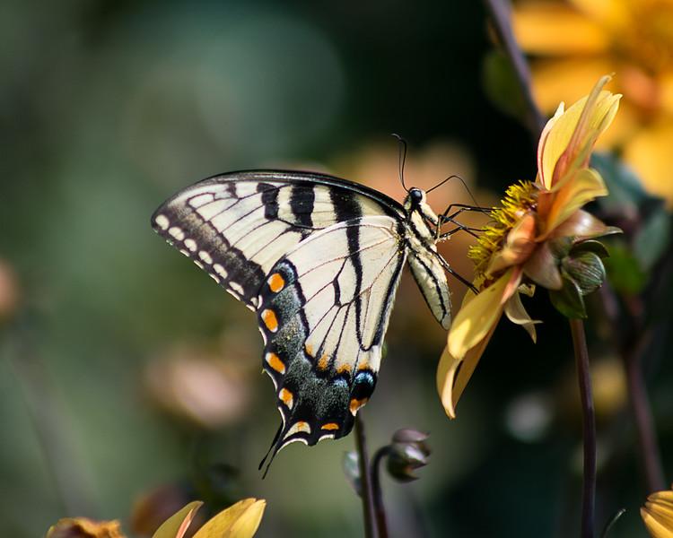 Tiger Swallowtail, Feeding 01