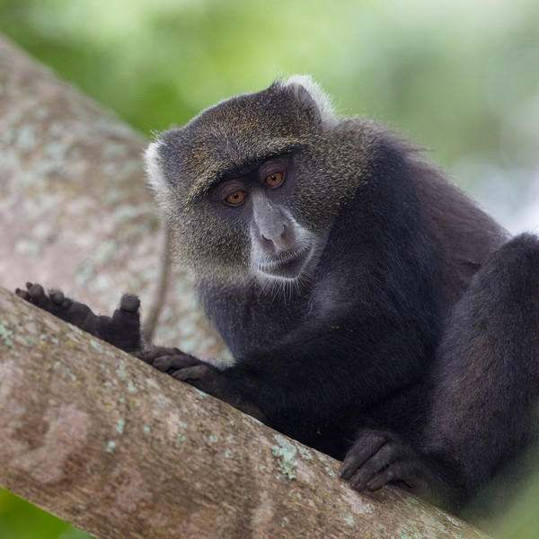 portrait of a blue monkey Arusha.jpg