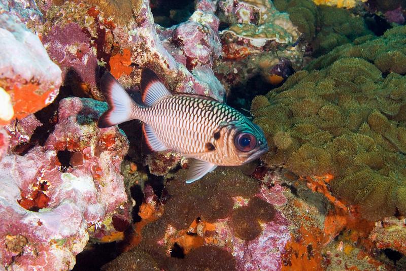 Shadowfin Soldierfish.jpg
