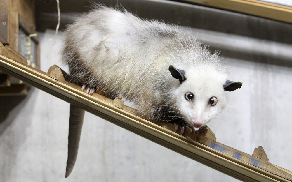 Description of . A cross-eyed opossum (didelphis) called Heidi sits in her interim enclosure, in the zoo in Leipzig, Germany, on Wednesday, Dec. 15, 2010. The animal came from a zoo in Denmark to Leipzig, where they found out that she is cross-eyed. (AP Photo/dapd, Sebastian Willnow)