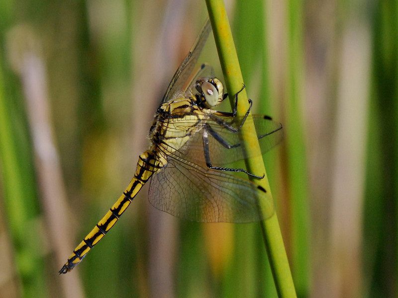 Female Black Tailed Skimmer, Orthetrum cancellatum, Camargue 2009 ak