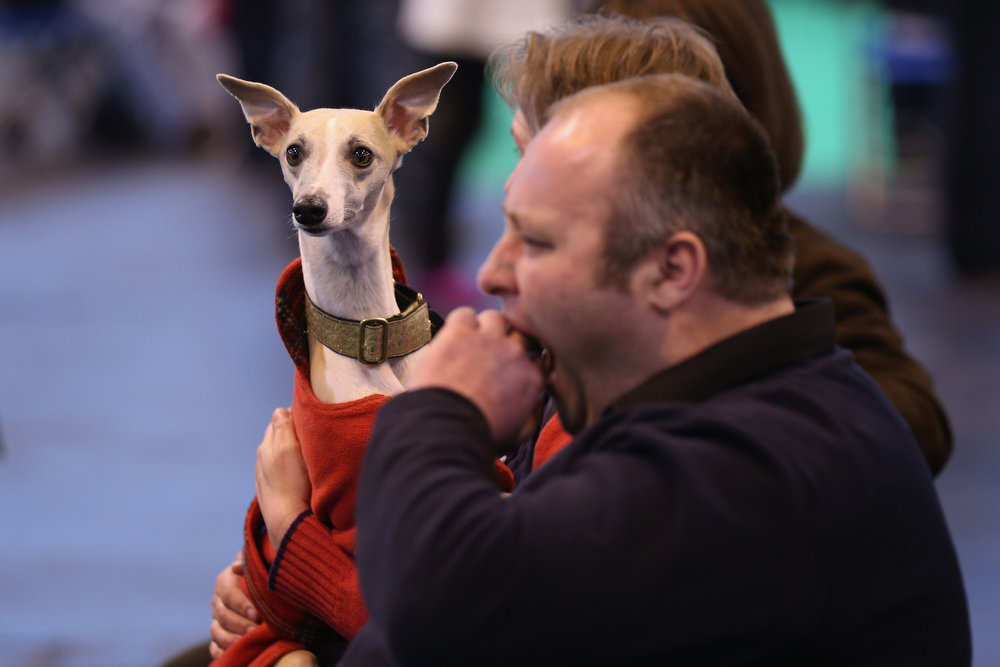 . BIRMINGHAM, ENGLAND - MARCH 07:  Owners watch dogs being shown on the first day of Crufts dog show at the NEC on March 7, 2013 in Birmingham, England. The four-day show features over 25,000 dogs, with competitors travelling from 41 countries to take part. Crufts, which was first held in1891, sees thousands of dogs vie for the coveted title of \'Best in Show\'.  (Photo by Oli Scarff/Getty Images)