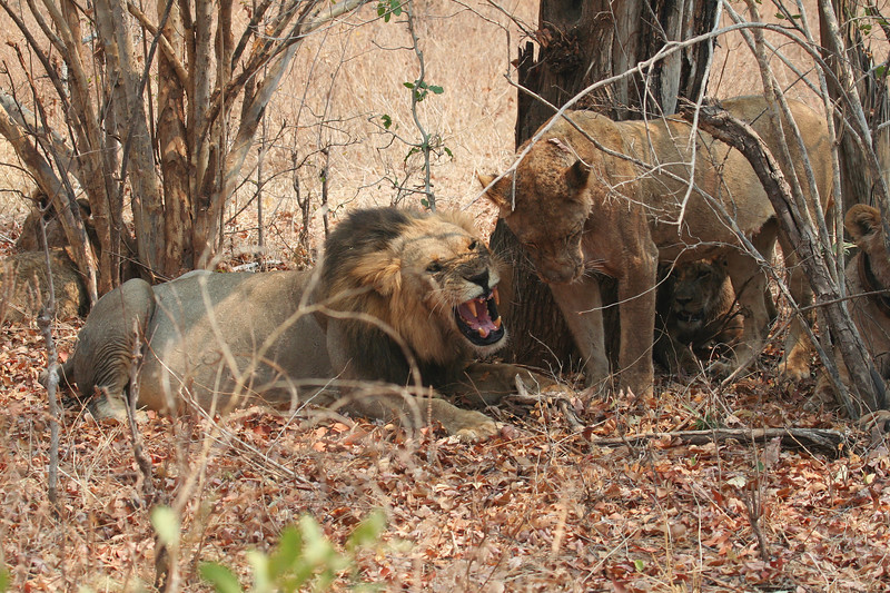 LION FAMILY SNARLZIMBABWE+00 LION FAMILY SNARL.jpg